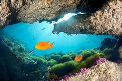 Bright orange Garibaldi under ledge Royalty Free Stock Images