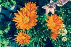 Bright orange Gazania flower of splendens genus asteraceae in da. Ylight Stock Image