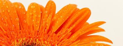 Bright orange gerber in macro Royalty Free Stock Photography