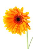 Bright orange gerbera flower. On white background Stock Image