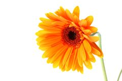 Bright orange gerbera flower Stock Photos