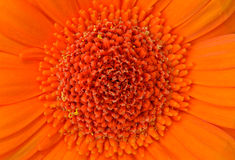 Bright orange Gerbera flower Royalty Free Stock Photo