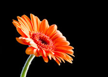 Bright orange gerbera flower. On black Stock Photo
