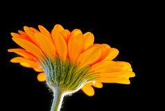 Bright orange gerbera flower. On black Royalty Free Stock Image