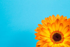 Bright orange gerbera flowers on a blue delicate background Royalty Free Stock Image