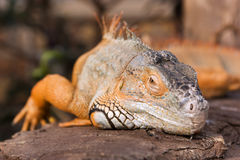 Bright orange Green Iguana. Close-up of an orange colored male Green Iguana (Iguana iguana Royalty Free Stock Images