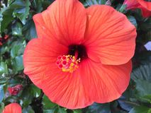 Bright Orange Hibiscus in Tropical Garden Setting. Bright orange hibiscus flower on plant in tropical garden setting Royalty Free Stock Photo