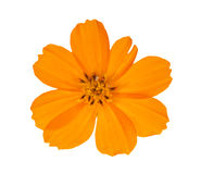 Bright orange isolated flower. Bright orange flower isolated on white background Royalty Free Stock Photography