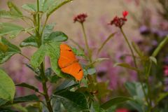 Julia Longwing Butterfly in the Garden. A bright orange Julia Longwing butterfly perched on a plant in a local garden stock image