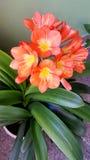 Bright Orange Kafir Lily Flower Royalty Free Stock Photo