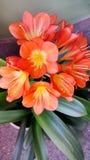Bright Orange Kafir Lily Flower Royalty Free Stock Photos