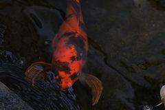Bright orange koi swimming near the waters surface Stock Photography