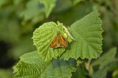 Bright orange large skipper on green leaf (Ochlodes sylvanus) Royalty Free Stock Images