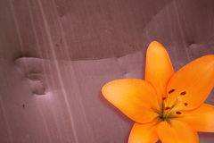 Bright orange lily Stock Photography