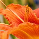 Bright orange lily flower. Beautiful gentle flower of orange lily Royalty Free Stock Photography
