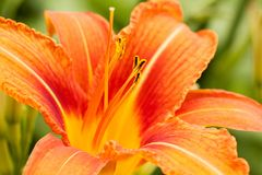 Bright orange lily flower. Beautiful gentle flower of orange lily Stock Photo