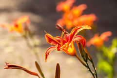 Bright orange lily flower blossoming. On sunny day in summer garden on natural background Stock Photos