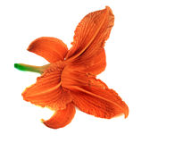 Bright orange lily flower isolated. Bright  orange lily flower isolated Royalty Free Stock Images