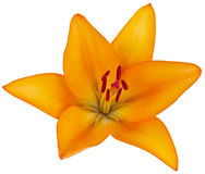 Bright orange lily flower, photographed close-up. Isolated on wh Royalty Free Stock Images
