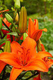 Bright orange lily flowers Stock Image