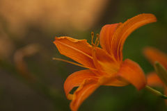 Bright orange lily flowers in the sunny garden. Royalty Free Stock Photo