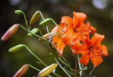 Bright orange lily of the three growing flowers in full bloom Stock Image