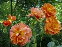 Bright orange lovely bunch of rose Westerland with green leaves background. Selective focus. Lyric motif for design stock photo