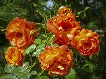 Bright orange lovely bunch of rose Westerland with green leaves background. Selective focus. Lyric motif for design royalty free stock photo