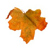 A bright orange maple leaf Stock Image