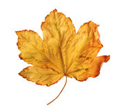 Bright orange maple leaf on white background Stock Images