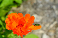 Bright orange marigold and green beetle Stock Photography