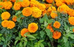 Bright orange marigold Tagetes patula flower close up stock photography