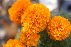 Bright Orange Marigolds in October royalty free stock photography