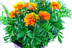 Bright orange marigolds in plastic pots Stock Image