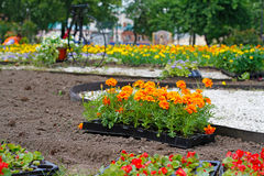 Bright orange marigolds in plastic pots. For planting in the flower bed on the street Stock Image