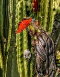 A bright orange Monarch Butterfly on a dead cactus flower. A bright orange Monarch Butterfly rests and spreads its wings on a dead cactus flower in California stock images