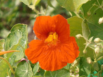 Bright orange nasturtium flower. Closeup among green foliage Royalty Free Stock Image