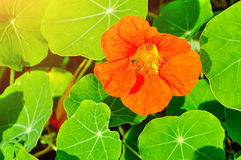 Bright orange nasturtium flower- in Latin Tropaeolum. Lit by sunlight. Floral summer background Royalty Free Stock Photo