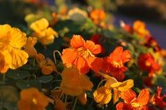 Bright orange nasturtium flowers. Glowing in evening sunlight Stock Images