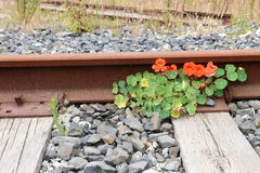Bright orange nasturtiums grow by a rusted railroad track. Stock Photos