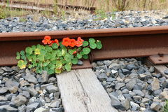 Bright orange nasturtiums grow by a rusted railroad track. Stock Image