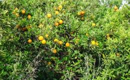 Bright orange oranges. On a background of green foliage Stock Photos