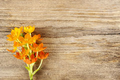 A bright orange ornithogalum (bird milk) flower Stock Images