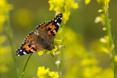 Bright orange Painted Lady Butterfly close up in yellow wildflowers. Bright orange painted lady butterfly in a field of yellow mustard wildflowers during spring royalty free stock photos