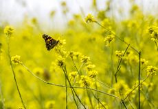 Bright orange Painted Lady Butterfly in field of yellow wildflowers. Single bright orange painted lady butterfly in field of yellow mustard wildflowers royalty free stock photos