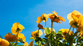 Bright orange pansy flower against blue sky. Bright orange pansy flower against deep blue sky with texture and petals detail Stock Photography