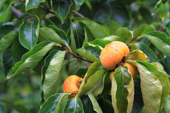 Bright Orange Persimmons Royalty Free Stock Photography