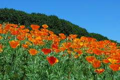 Bright Orange Poppies (Papaveroideae). Bright Poppies gently blowing in the breeze on a bright Spring Day Stock Image