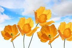 Bright, orange poppies on the sky background Stock Photography