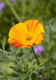 Bright orange poppy. One bright orange poppy flower Stock Images